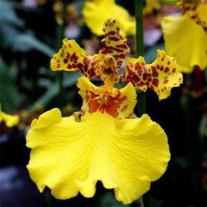 orchidée oncidium jaune