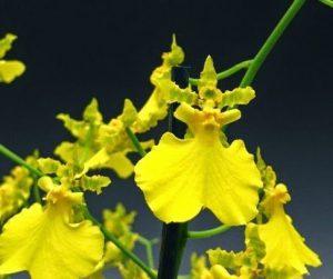 orchidée oncidium rempotage