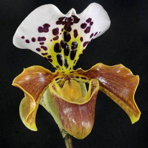 orchidée paphiopedilum arrosage