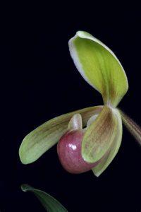 orchidée paphiopedilum entretien