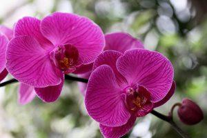 orchidée phalaenopsis arrosage