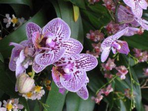 orchidée phalaenopsis suspendue