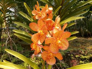 orchidée vanda entretien