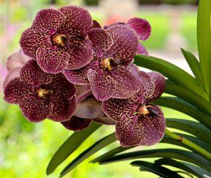 orchidée vanda rempotage