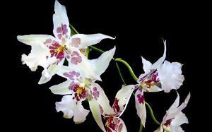 photo orchidée odontoglossum