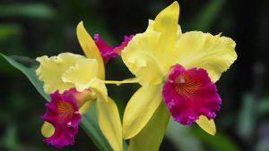 rempotage orchidée cattleya