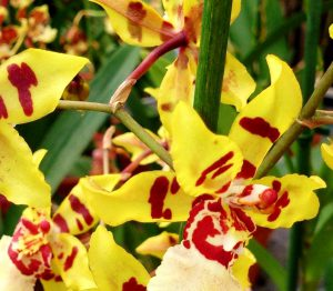 rempoter orchidée cambria